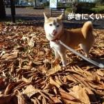立川の昭和記念公園の日本庭園にペットは入れるの?実際にいって確かめてきました!