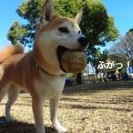 動画あり!昭和記念公園の年末年始の営業は?2015年最後のドックランで柴犬まるとボール遊びをしてきました!