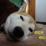 2016年も柴犬まると一緒に孤独な東京生活を乗り切ります!あけましておめでとう~!