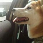 柴犬まると思いつきで千葉旅行にきています。