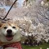 昭和記念公園フラワーフェスティバル2016!やっと柴犬まると桜の写真を撮れたぞぉ~!