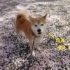 【柴犬動画】桜吹雪でひとり遊びができる柴犬まるが可愛すぎる