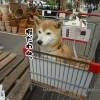 柴犬まるにセドルの桜柄の首輪を買ってみたら最高に似合ってた!