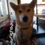 吉祥寺店内ワンコOKの「食堂居酒屋どいちゃん」に柴犬まるといってきた!