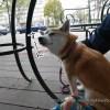 ファミレス感覚で愛犬と寄れる!?「玉上岡元」に柴犬まるといってきました!