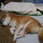 初めての西伊豆旅行から帰ってきて人間の枕でねる柴犬