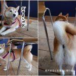 西伊豆ペット同伴OK「漁師カフェ堂ヶ島食堂」に柴犬まるといってきました!
