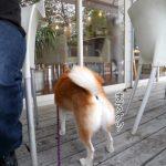 九十九里のおしゃれなカフェ「Sghr cafe」に柴犬まるといってきました!