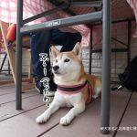 立川柴崎町の「cafeジロー」に柴犬まるといってきました!