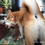 柴犬まるのためにアワーズのフードボウルテーブルを買ってみました!