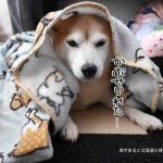 スリーコインズの柴犬オーバーブランケットが本気で可愛すぎる!