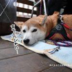 立川の本格炭火焼きハンバーガー専門店『Delicier's(デリッシャーズ)』に柴犬まるといってきました!