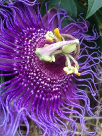 passion flower-incense