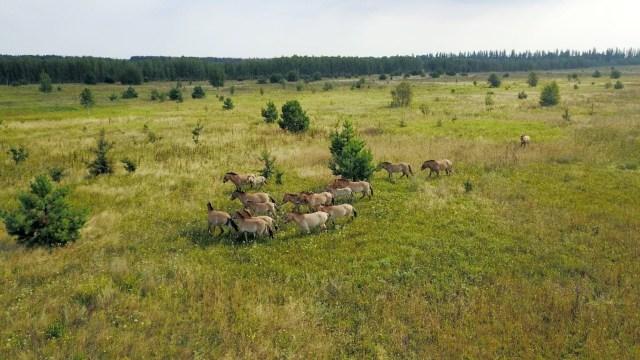35 yıldır insan yok: Çernobil vahşi atların yuvası