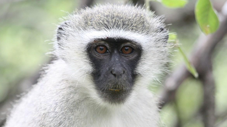 vervet maymunları