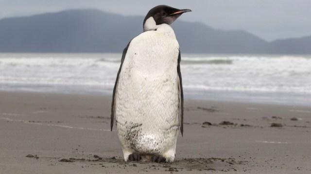 Dev penguen fosili keşfedildi