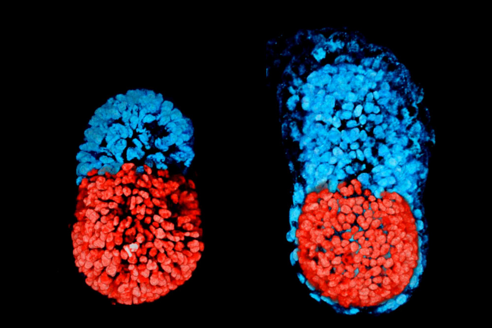 embrião artificial