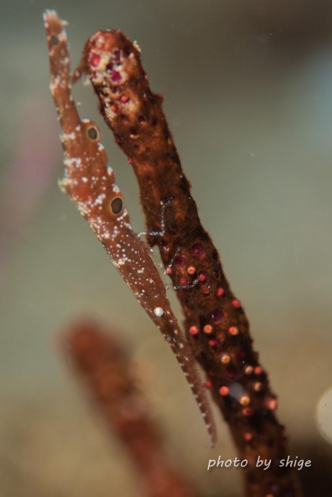 トガリモエビ属の1種