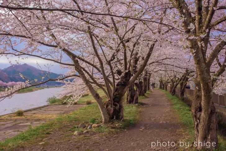 桧木内川の桜のトンネル