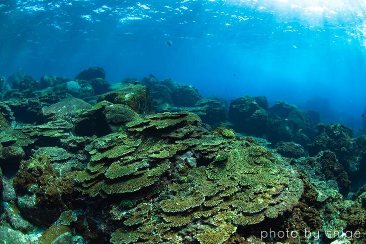 三宅島のテーブルサンゴ