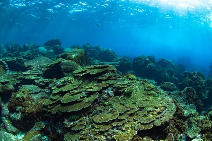 三宅島のテーブルサンゴの群生