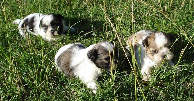 3 chiots shih tzu tricolore à vendre au prix de 690 euros les mâles et 750 les femelles