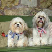 Difference Between Shih Tzu and Lhasa Apso