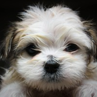 Dealing with Shih Tzu Tear Stains