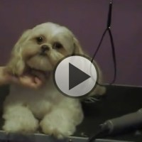 The Teddy Bear Cut For Shih Tzu