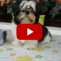 Mumble's Happy Feet Meet Rocky the Shih Tzu