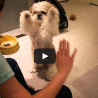 Shih Tzu Clicker Training