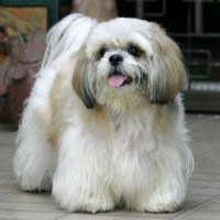 How Big Do Shih Tzu Get?