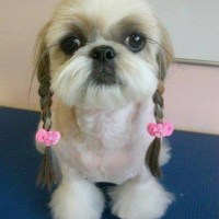 Stylish, Elegant and Pompous Shih Tzu