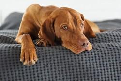 Are vizslas good guard dogs
