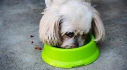 Shih Tzu eating food out of greed doggy bowl