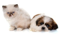 Can shih tzu's be friends with cats