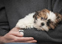 Do Shih Tzu have separation anxiety
