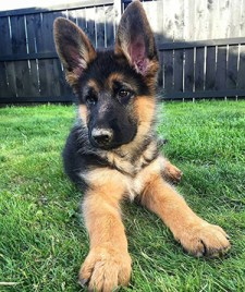 Young German Shepherd relaxing on a hot day