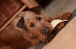 How difficult is it to train an irish terrier