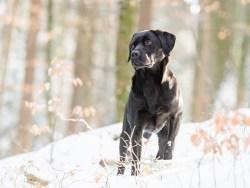 How long do labrador retrievers live