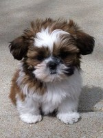How much should a shih tzu puppy eat