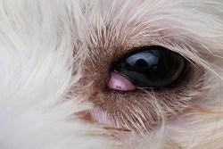 How to clean shih tzu eyes