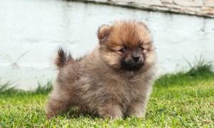 pomeranian dog temperament