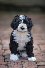 Portuguese Water Dog puppy sitting down waiting for some action