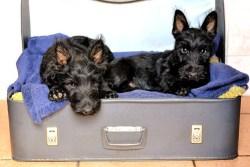 Scottish Terrier temperament