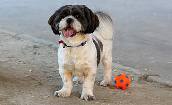 Shih Tzu and exercise