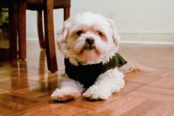 Shih Tzu in doggie clothing