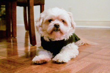 Shih Tzu in doggie clothing