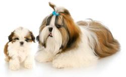 Shih Tzu puppy development week by week