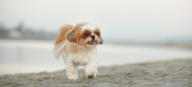 brown and white Shih Tzu taking a stroll on a sunny day